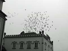 Pigeon circle (© seinfeld) Tags: städte steyr schwarzweis