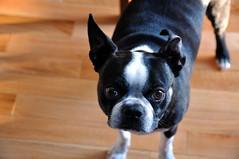 Broken ear (librariansarah) Tags: dog broken boston terrier ear folded bent