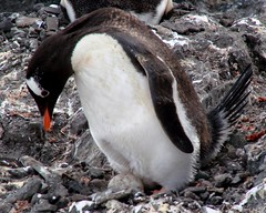 Time to turn the egg (ericy202) Tags: penguin gentoo december antarctica 2006 wildpenguin
