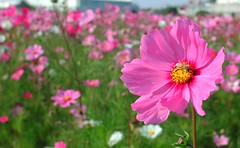 (阿斌 not perfect) Tags: plant flower epson 台中 dalicity taichungcity photopc 大里 3000z flickrandroidapp:filter=none