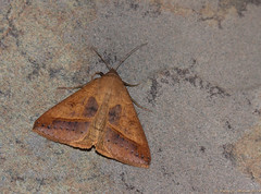 Mocis sp. (kmalone98) Tags: moths