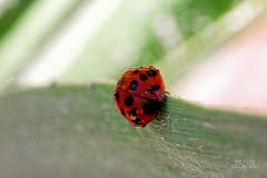 Ladybug (MilDas) Tags: red macro green nature insect greece ladybug