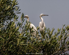 Little egret (Ignacio Ferre) Tags: bird ave egret pjaro littleegret egrettagarzetta garcetacomn garceta garcetablanca
