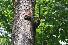 Young Pileated Woodpeckers in Tree Nest.  Dinnertime. (typebarsmack (Steve)) Tags: canon asahi f56 200mm 450d teletakumar