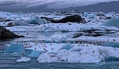 Glacier River C (joeng) Tags: mountain snow reflection bird water animal river iceland olympus glacier iceberg omd em1 glacierlagoon jokusarlon