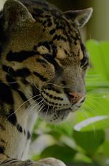 Clouded leopard (Joan Hagan 70000k+ views. Thankyou :-)) Tags: animals zoo kent wildlife bigcats nikond3200 smarden photographyday joanhagan