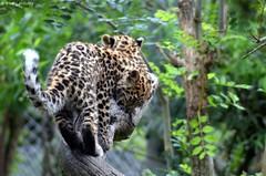 Liski & Satka (DoddieElodie) Tags: france zoo alsace carnivore mulhouse panthre