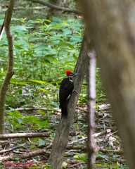 Radnor Lake State Natural Area - Pileated Woodpecker - July 10, 2014 (mikerhicks) Tags: usa bird geotagged unitedstates nashville hiking tennessee wildlife pileatedwoodpecker tennesseestateparks radnorlakestatepark canon7d radnorlakestatenaturalarea oakhillestates sigma18250mmf3563dcmacrooshsm geo:lat=3605903137 geo:lon=8679536929