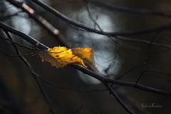 (Sabrina Kemkes) Tags: herbst gelb herbstfärbung wald blätter laub bokeh äste