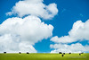 Feeding Cattle (Adsab) Tags: greengrass xt2 blue photography xseries fujifilm bigsky nature cattle grass cows animals dappledlight fleurieupeninsula southaustralia clouds velvia fuji fujivelvia