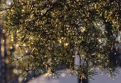 Sparkling spotlights (kaffealskare) Tags: fotosndag fotosondag temafotografering themephotography fs161113 analog bokeh sparkling waterdroplets vattendroppar light gnistrande ljus barr firneedle