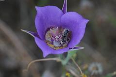 even purpler (rovingmagpie) Tags: oregon rowena tommccallpreserve natureconservancy rowenaplateau rowenacrest segolily mariposa purple bee touregon summer2016