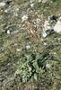 Senecio jacobaea, Galium verum. Gileston Beach, October 1975