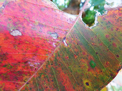 Leaves in colour (jo.elphick) Tags: durras australia nsw gumtreeleaves gumtree leaves green red