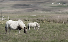 Momma Horse and Baby Horse _5386 (hkoons) Tags: icelandichorse northwesticeland skagipeninsula westfiords westfjords barbedwire openair clouds fence horses iceland animals cabin caged corral equestrian farm fenced fencing field fiord fjord foothill grass grassland graze grazing green greens hill horse island landscape mammal mammals mountainside nature north outdoor pets ranch riding sky sun ngeyrar