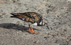 IMG_3044 (hotchilicat) Tags: stives turnstone