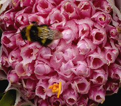 busy bee (richie rocket) Tags: scillies seasearch scillyisles cornwall uk
