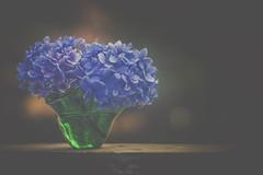 Hydrangia in November (jm atkinson) Tags: purple hydrangia blue macro green glass vase porch bokeh