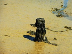Sentinel of the River (teaselbrush) Tags: newhaven east sussex uk england british seaside town coast coastal urban ouse river murky dank seaweed barnacles green slime slimy mud tidal dog