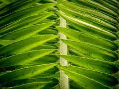 Palmzweig (olipennell) Tags: blatt botanischergarten mnchen nymphenburg pflanze