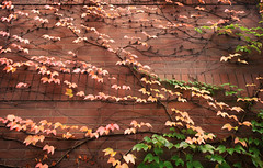 Fall Spectrum (jgottlieb) Tags: wa washington leica mp typ 240 bellevue brick wall leaves changing colors fall autumn green yellow red vines