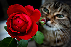 Smelling the roses (Z) Tags: chat cat cats gato gatto katze kot kitty rose flower fleur feline blume red tabby tiggy tigre hazy october nature flor kwiat roza rosa eric tabarly