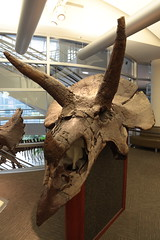 triceratops skull (1600 Squirrels) Tags: 1600squirrels photo 5dii lenstagged canon24105f4 lifesciences ucberkeley berkeley alamedacounty eastbay sfbayarea nocal california usa