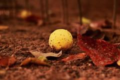 Esperando por ti... (elyayo82) Tags: limon lemon tierra suelo ground natural naturaleza amarillo yellow acido acid fruta fruit hoja leaf leaves marron brown calido tropical tropico tropic anaco anzoategui venezuela