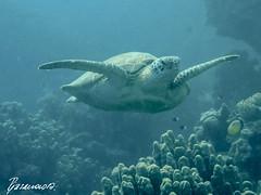 Wonderful World of Turtles (Alexandra1183) Tags: gypten diving marsashagra schildkrte tauchen egypt turtle rotesmeer redsea