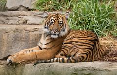 Debbie (ToddLahman) Tags: debbie joanne teddy escondido sandiegozoosafaripark safaripark sumatrantiger babysumatrantiger babytiger tigers tiger tigertrail tigercub exhibitb canon7dmkii canon canon100400