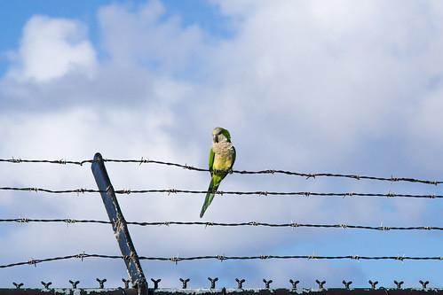 Old San Juan Parrot