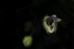 Jour 147 sur 366 (melanie photographies) Tags: fleur flower noir naturemorte nikon nikond5100 night nature black blackbackground background lumire light jeudelumire projet366 photo picture photography projet365 d5100 outside passiflore fond