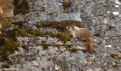 Marmot on the rocks (Photosuze) Tags: marmots rodents animals mammals nature wildlife montana glaciernationalpark yellowbelliedmarmots marmotaflaviventris