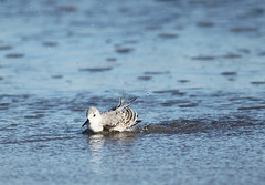 The Bath (ND Wind Twins) Tags: 116picturesin2016 116pictures31 wet sanderling bird padreisland