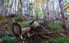 She's Seen Better Days (TheNovaScotian1991) Tags: fallentree cutdown nikond3200 tokina1116mmdxii ultrawideangle texture uisgebanfalls provincialpark novascotia canada capebretonisland forest woods trees autumn fallenleaves fallcolors fall moss lichen ferns sticks
