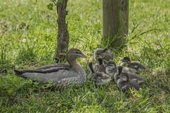 Montsalvat Wood Ducks 2016-11-12 (5D_32A1345) (ajhaysom) Tags: montsalvat eltham melbourne australia canoneos5dmkiii canon24105l australianwoodduck