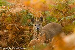 Chinese Water Deer (David Barnes Wildlife Photography) Tags: 1d4 british chinesewaterdeer fauna hydropotesinermis mammals nature naturephotography uk unitedkingdom wildlife