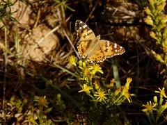 Distelfalter an der Salgados-Lagune (fotoculus) Tags: portugal algarve algarvereise1210bis2112016 salgados albufeira armacaodepera insekten insects falter schmetterlinge distelfalter