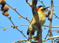 DSC_0590 (rachidH) Tags: birds oiseaux woodpecker pic greenbarredwoodpecker colaptesmelanochloros picvertetnoir carpinterorealnorteo bosquesdepalermo palermo woods buenosairesecologicalreserve reservaecolgicadebuenosaires reserve national park buenosaires argentina rachidh nature