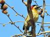 DSC_0590 (RachidH) Tags: birds oiseaux woodpecker pic greenbarredwoodpecker colaptesmelanochloros picvertetnoir carpinterorealnorteño bosquesdepalermo palermo woods buenosairesecologicalreserve reservaecológicadebuenosaires reserve national park buenosaires argentina rachidh nature