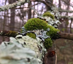 #Moss #tree #trees #woods #forest #woodland #growing #limb #branch #Connecticut #Mike #Liebler #wilderness #nature #Mikey #patches #of #mosses #Vernon #Tolland #Bolton (mikeliebler222) Tags: cover up covering covered green foliose lichens lichen moss tree trees woods forest woodland growing limb branch connecticut mike liebler wilderness nature mikey patches mosses vernon tolland bolton