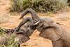 Baiser. (Nona P.) Tags: safari afriquedusud wildlife girafe éléphant sauvage brousse animal canon photography nonap
