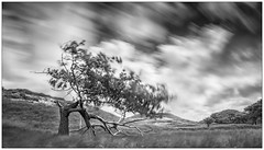 In Motion (Wayne Interessiert's) Tags: norderney insel island le windkraft windpower nergieolienne dnen sanddunes dunes landschaft landscape paysage wolken clouds nuages sky ciel monochrome blackwhite bw noirblancphoto langzeitbelichtung longtimeexposure longuedeexposition baum tree arbre leefilters bigstopper