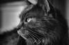 Resistant Model (flashfix) Tags: november152016 2016 2016inphotos nikond7000 nikon ottawa ontario canada 40mm kitty fyero fluffy graycat eyes cateyes whiskers portrait nose nebelung ragdoll ragamuffin pampered blackandwhite monochrome