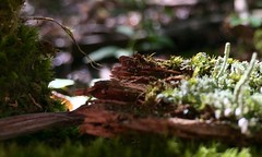 #Moss #mossy #mushrooms #mushroom #fungus #birchbark #woodland #forest #woods #growing #wilderness #nature #life #Mike #Liebler #hiking #trail (mikeliebler222) Tags: moss mossy mushrooms mushroom fungus birchbark woodland forest woods growing wilderness nature life mike liebler hiking trail