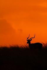 Impala (DrScottA) Tags: mara impala maasaimara kenya wildlife mammal nature africa safari sunset silhouette