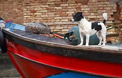The Cutest Dog in Venice (Boganeer) Tags: dog terrier boat canal pet venice venezia italy italia italie canon canont3i canoneos canonrebelt3i vigilant alert red brick guard sentry explored
