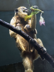 Cleveland Metroparks Zoo 06-05-2014 - Black Howler Monkey 6 (David441491) Tags: clevelandmetroparkszoo blackhowlermonkey monkey baby