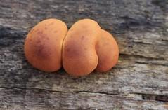 champignons (bulbocode909) Tags: valais suisse champignons automne nature forts bois troncs orange