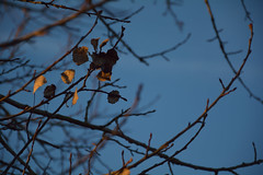 DSC_7029 (Karel Suchnek) Tags: evening sunset dry leafs late autumn firstfrost